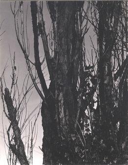 Alfred Stieglitz, Poplar, Lake George, 1936