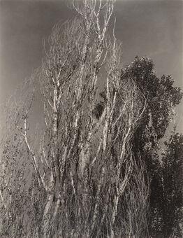 Alfred Stieglitz, Poplars—Lake George