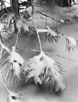 Ansel Adams, Branches in Snow, Yosemite National Park, California
