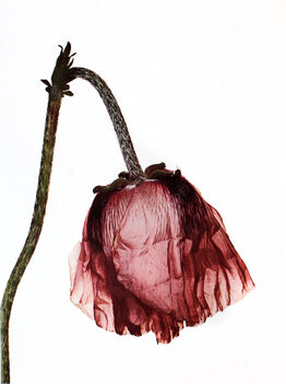 Irving Penn, Single Oriental Poppy, New York