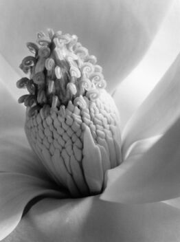 Imogen Cunningham, Magnolia Blossom, 1925 (Tower of Jewels)