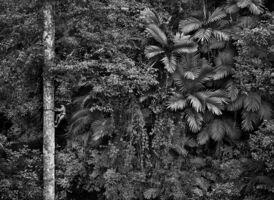 Sebastião Salgado, 'Genesis: Mentawai Climbing a Gigantic Tree to Collect Durian Fruit, Siberut Island, West Sumatra, Indonesia', 2008