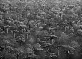 Sebastião Salgado, 'Genesis: Adansonia Grandidieri, Madagascar', 2010
