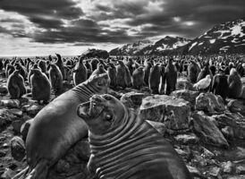 Sebastião Salgado, 'Genesis: Southern Elephant Seal Calves, Saint Andrew's Bay, South Georgia', 2009