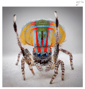 Maria Fernanda Cardoso, 'Spiders of Paradise: Maratus volans from the Actual Size Series', 2019
