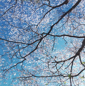Christopher Burkett, 'White Dogwood Canopy, Kentucky', 2000