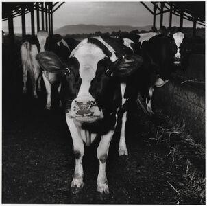 Peter Hujar, 'Cow', 1985
