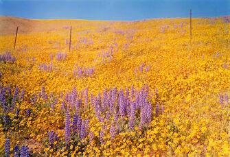 Yellow Flowers, Hillside, California
