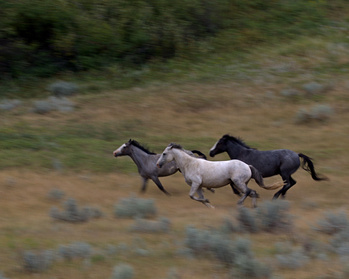 Horses Running In The Rain