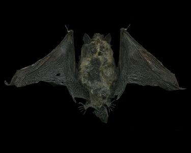 Margot Wallard, 'Untitled (Bat)', 2015