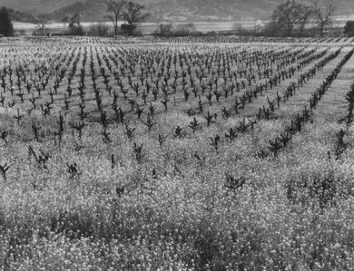 Max Yavno, 'Napa Valley, California', 1961