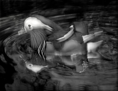 Elliot Ross, 'Mandarin Duck, 2015', 2015