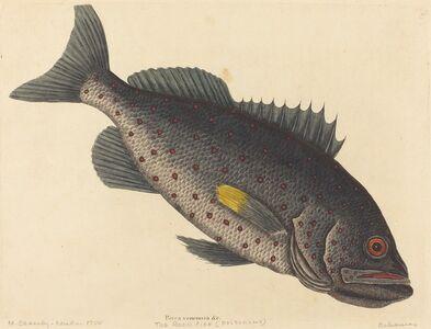 Mark Catesby, 'The Rock Fish (Perca venenosa)', published 1754