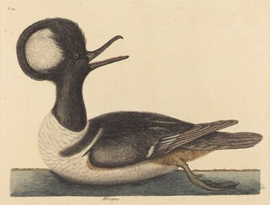 Mark Catesby, 'The Round Crested Duck (Mergus cucullatus)', published 1731-1743