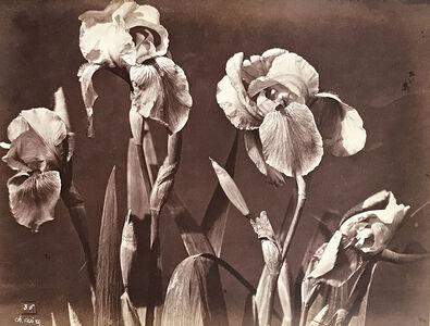 Charles Aubry, 'Irises', 1864c/1864c