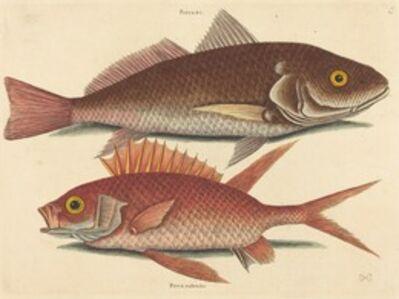 Mark Catesby, 'The Croker (Perca undulata)', published 1731-1743