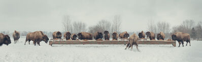 Claire Rosen, 'The Bison Feast', 2014