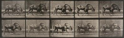 Eadweard Muybridge, 'Animal Locomotion: Plate 701 (Gnu Walking)', 1887