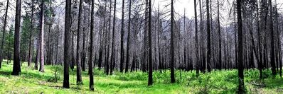 David Glick, 'Burned Trees 1'