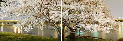 Frank Hallam Day, 'Cherry Blossom Diptych', 2012