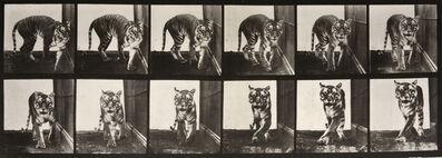 Eadweard Muybridge, 'Animal Locomotion: Plate 730 (Tiger Walking)', 1887