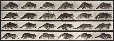 Eadweard Muybridge, 'Animal Locomotion: Plate 744 (Raccoon Walking)', 1887