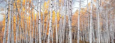 Christopher Burkett, 'Golden Aspen Glade, Colorado', 2005