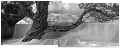 James Balog, 'Buttonwood Trees Diptych', 2016
