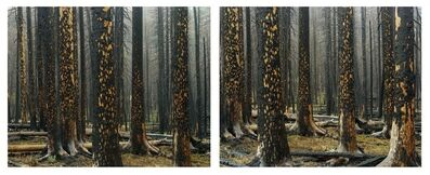 Laura McPhee, 'Early Spring, Peeling Bark in Rain (Diptych)'