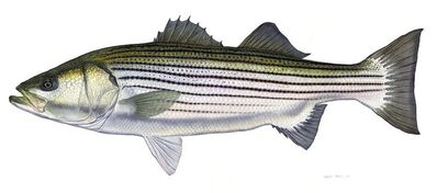 Flick Ford, 'Trophy Striped Bass', 2014