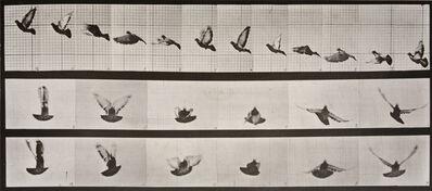 Eadweard Muybridge, 'Animal Locomotion: Plate 755 (Pigeon in Flight', 1887