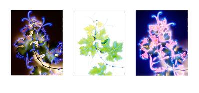 Robert Buelteman, 'Vitus vinifera (triptych)', 1999