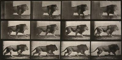 Eadweard Muybridge, 'Animal Locomotion: Plate 722 (Lion Walking)', 1887