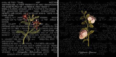 Ottonella Mocellin - Nicola Pellegrini, 'Flowers of Palestine (Astragalus Tuberculosus), Flowers of Palestine (Capparis Spinosa)', 2009