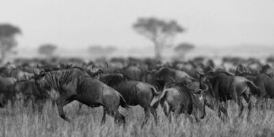 Araquém Alcântara, 'Gnus, Tanzania, Africa', 2012