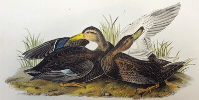 John James Audubon, 'Duskey Duck', 1840-1844