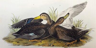 John James Audubon, 'Duskey Duck', 1840-1844