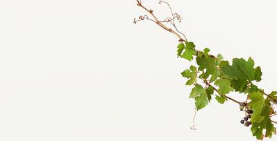 Takashi Tomo-oka, 'Grape 2 ( Cabernet Sauvignon )', 2014