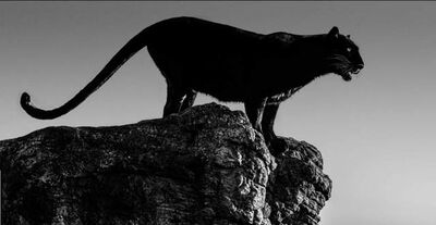 David Yarrow, 'Black Cat ', 2019