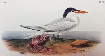 John James Audubon, 'Cayenne Tern', 1840-1844