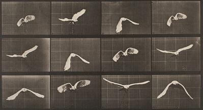 Eadweard Muybridge, 'Plate 762, Animal Locomotion: Cockatoo flying', 1872-1885 / printed 1887