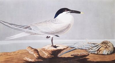 John James Audubon, 'Sandwich Tern (with Florida Cray Fish) (Florida Keys)', 1836