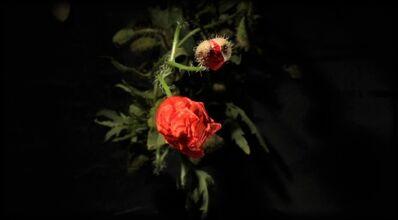 Eva Koch, 'Red Poppy', 2016