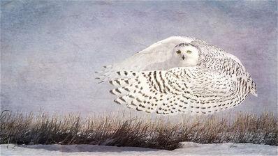 Wendi Schneider, 'Snowy Owl Hover, Drumheller, Canada', 2016