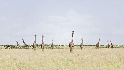 David Burdeny, 'Twelve Giraffes: Maasai Mara, Kenya', 2020