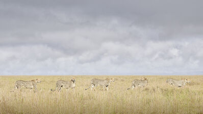 David Burdeny, 'Cheeta Coalition, Maasai Mara, Kenya, Africa', 2019