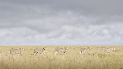 David Burdeny, 'Cheetah Coalition, Maasai Mara, Kenya', 2019