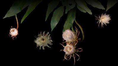 Courtney Egan, 'Dreamcatchers (Night-Blooming Cereus) ', 2013