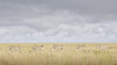 David Burdeny, 'Cheetah Coalition: Maasai-Mara, Kenya', 2020