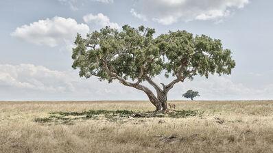 David Burdeny, 'Lion Cubs Under Acacia Tree, Maasai Mara, Kenya', 2019